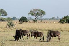Wildebeest blu Fotografia Stock