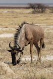 Wildebeest blu Immagine Stock