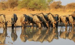 Wildebeest blu - antilope africana allineata Immagini Stock