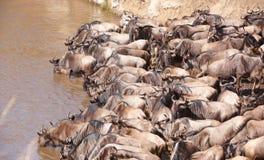 Wildebeest blu (taurinus del Connochaetes) Immagine Stock