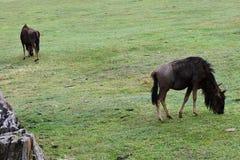 Wildebeest, Botlierskop Reserve, South Africa stock photo
