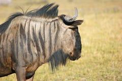 Wildebeest in Botswana Royalty Free Stock Image