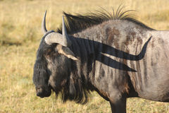 Wildebeest in Botswana Royalty Free Stock Photography