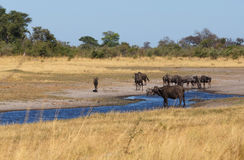 Wildebeest and buffalo, Africa safari wildlife and wilderness Royalty Free Stock Photo