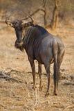 Wildebeest Bull immagini stock libere da diritti