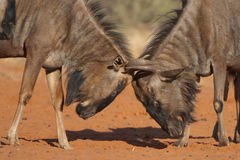 Wildebeest bulls fighting. Forequarters higher and much heavier than hind quarters; dark grey with some brown in younger animals and cows with darker, vertical Stock Photo