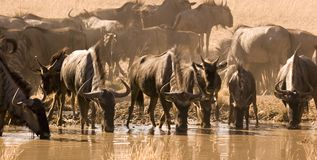 Wildebeest buvant du waterhole Photographie stock