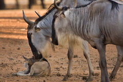 Wildebeest with calf Royalty Free Stock Photo