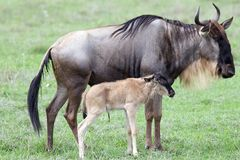 Wildebeest with calf (Connochaetes taurinus). Wildebeest calf with mother in the Ngorongoro crater. Wildebeest ia an antelop of genus Connochaetes. Wildebeest Stock Photo