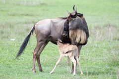 Wildebeest with calf (Connochaetes taurinus) Royalty Free Stock Photos