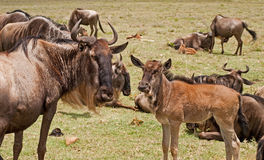 Wildebeest and calf at Ngorongoro Royalty Free Stock Image