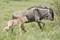 Wildebeest and Calf running Stock Image