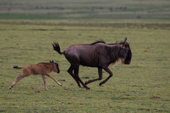 Wildebeest and calf Royalty Free Stock Image