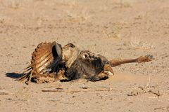 Wildebeest carcass Royalty Free Stock Photography