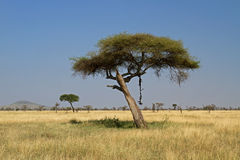 Wildebeest carcass hanging from acacia tree Stock Image
