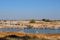 Wildebeest, cebra y gacela azules Fotografía de archivo