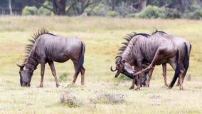 Wildebeest Chłodzić Zdjęcia Royalty Free
