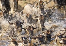 Wildebeest chaos while crossing Mara river Stock Photo