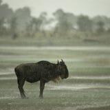 Wildebeest che si leva in piedi nella pioggia Immagini Stock