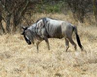 Wildebeest chodzący sideview Obraz Stock
