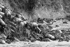 Wildebeest climbing a riverbank in black and white Royalty Free Stock Images