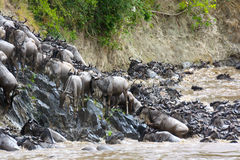 Wildebeest climbing a riverbank royalty free stock photos