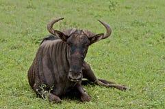 Wildebeest com chifres fotografia de stock