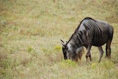 Wildebeest comune (taurinus del connochaetes) Fotografia Stock