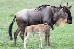 Wildebeest con el becerro (taurinus del Connochaetes) foto de archivo