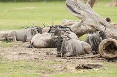 Wildebeest (Connochaetes gnou) Stock Image