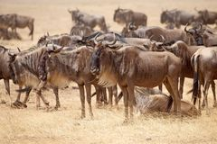 Wildebeest (Connochaetes taurinus) Stock Photography