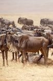 Wildebeest (Connochaetes taurinus) Royalty Free Stock Photos