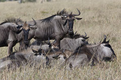 Wildebeest (Connochaetes taurinus) - Botswana Stock Photos