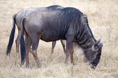 Wildebeest (Connochaetes taurinus) Stock Photo