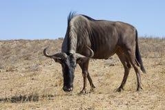 Wildebeest, Connochaetes taurinus,Gemsbok National Park, South Africa Royalty Free Stock Images