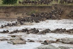 Wildebeest (Connochaetes taurinus) Great Migration Stock Photo