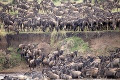 Wildebeest (Connochaetes taurinus) Great Migration Royalty Free Stock Photography
