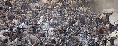 Wildebeest (Connochaetes taurinus) Great Migration Stock Photography