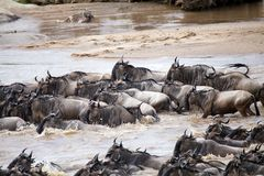 Wildebeest (Connochaetes taurinus) Great Migration Royalty Free Stock Images