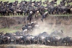 Wildebeest (Connochaetes taurinus) stock photo