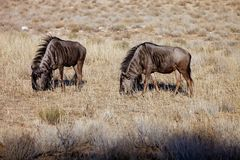Wildebeest,Connochaetes taurinus,  Kalahari, South Africa Stock Image