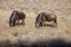 Wildebeest,Connochaetes taurinus,  Kalahari, South Africa Stock Image