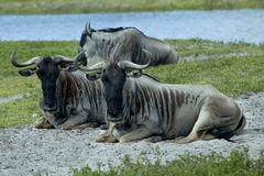Wildebeest (Connochaetes taurinus) Royalty Free Stock Image