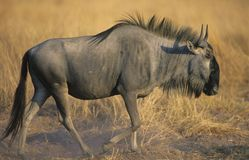Wildebeest (Connochaetes Taurinus) on savannah Royalty Free Stock Photo