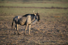 Wildebeest,  Connochaetes taurinus Stock Images