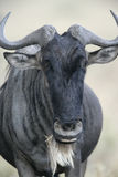Wildebeest,  Connochaetes taurinus Stock Photos