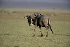 Wildebeest,  Connochaetes taurinus Royalty Free Stock Photos