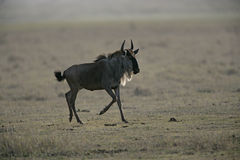 Wildebeest,  Connochaetes taurinus Stock Image