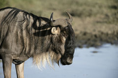 Wildebeest,  Connochaetes taurinus Royalty Free Stock Photo