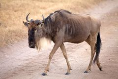 Wildebeest (Connochaetes taurinus) Stock Images